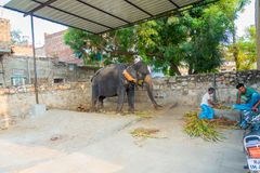JAIPUR, INDIA- SEPTEMBER 20, 2017: Unidentified man stands with two huge elephants, with chains in their feet in Jaipur Royalty Free Stock Photography