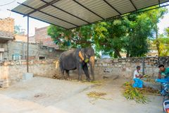 JAIPUR, INDIA- SEPTEMBER 20, 2017: Unidentified man stands with two huge elephants, with chains in their feet in Jaipur Royalty Free Stock Image