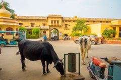 JAIPUR, INDIA - 19 SETTEMBRE 2017: La mucca cammina indifferente, in mezzo del traffico delle automobili e delle motociclette del Fotografia Stock