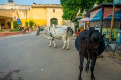 JAIPUR INDIEN - SEPTEMBER 19, 2017: Kon går likgiltigt, under trafiken av bilar och mopeder av staden Royaltyfri Bild