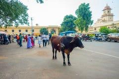 JAIPUR INDIEN - SEPTEMBER 19, 2017: Kon går likgiltigt, under trafiken av bilar och mopeder av staden Arkivbilder