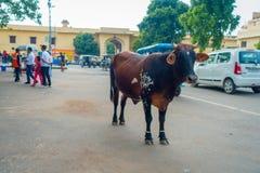 JAIPUR INDIEN - SEPTEMBER 19, 2017: Kon går likgiltigt, under trafiken av bilar och mopeder av staden Royaltyfri Fotografi