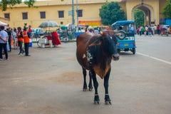 JAIPUR INDIEN - SEPTEMBER 19, 2017: Kon går likgiltigt, under trafiken av bilar och mopeder av staden Arkivfoton