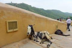 JAIPUR, INDIEN 20. SEPTEMBER 2017: Schließen Sie oben von zwei wilden Ziegen, Stillstehen am im Freien in entsteintem Weg in Jaip Lizenzfreie Stockfotos