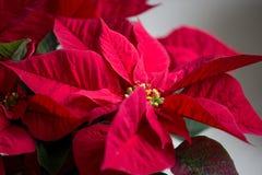 jaj tła Świąt kwitną szklankę odizolowywającego czerwonego poinsecja white Obraz Stock