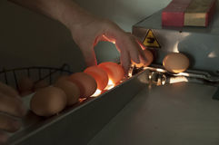 Jajeczna Inspekcja Zdjęcia Royalty Free