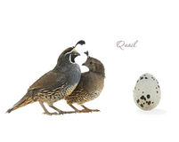 Jajeczna Kalifornia przepiórka Zdjęcie Royalty Free