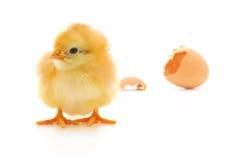 jajeczna kurczak skorupa fotografia royalty free