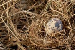 jajeczna przepiórka s Zdjęcie Stock