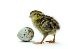 jajeczna przytulona przepiórka Zdjęcia Stock