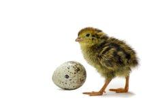 jajeczna przytulona przepiórka Fotografia Stock