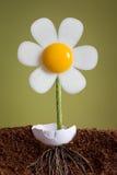 jajeczna roślina Zdjęcie Royalty Free
