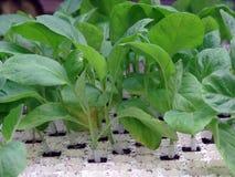 Jajeczne młode rośliny Zdjęcie Stock