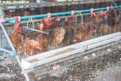Jajeczny kurczak w henhouse zdjęcia stock