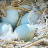 Jajka łabędź Zdjęcia Royalty Free
