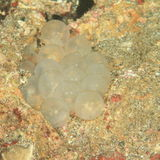 Jajka cuttlefish Fotografia Stock