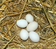 jajka gniazdeczko Zdjęcie Royalty Free