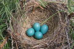 jajka gniazdują rudzika Fotografia Stock