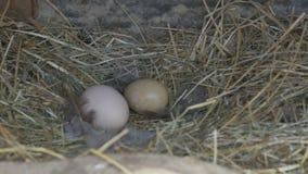 Jajka w gniazdeczku zbiory wideo