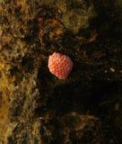 jajko jabłczany ślimaczek s Fotografia Stock