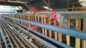 Jajko kurczaka gospodarstwo rolne Obraz Royalty Free