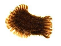 Jajko liścia insekta Phyllium philippinicum fotografia stock