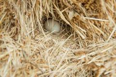 Jajko w haystack Gniazdeczko drób fotografia royalty free