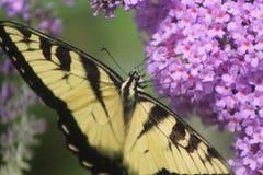 Jak brać nektar od Bush Obraz Royalty Free