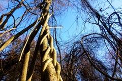 jak działa pokręcony drzewo obrazy royalty free
