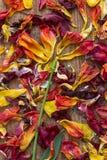 Jak kwiat układający więdnący płatki tulipany Zdjęcie Stock