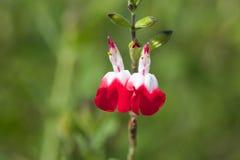 Jak kwiaty Obraz Royalty Free