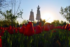 Jak tulipany Obrazy Stock