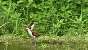 Jakana-Vögel im Amazonas stock footage