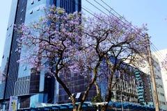 Jakaranda drzewo Fotografia Stock