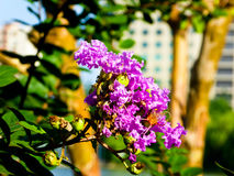 Jakaranda flowers blooming. Purple lagerstroemia indica flowers blooming in Shanghai parky China on a sunny day Royalty Free Stock Photography