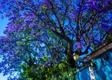 Jakaranda i blomma som mjuknar en förstörd byggnad i Lissabon Arkivfoton