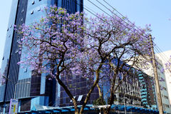 Jakaranda träd Arkivbild