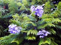 Jakarandamimosifolia av familjbignoniaceaen Fotografering för Bildbyråer