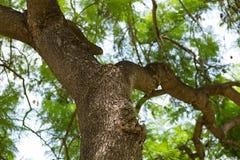 Jakarandamimosifoliaen är en härlig under-tropisk trädinföding till Fotografering för Bildbyråer