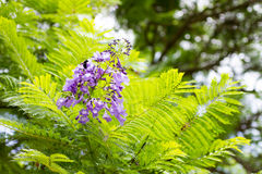 Jakarandamimosifoliaen är en härlig under-tropisk trädinföding till Arkivfoto