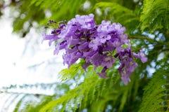Jakarandamimosifoliaen är en härlig under-tropisk trädinföding till Arkivfoton