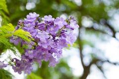 Jakarandamimosifoliaen är en härlig under-tropisk trädinföding till Arkivbild