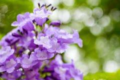 Jakarandamimosifoliaen är en härlig under-tropisk trädinföding till Royaltyfri Foto