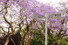 Jakarandaträd i blom i Pretoria, Sydafrika Arkivbilder