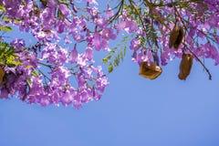 Jakarandaträd i blom på en bakgrund för blå himmel Royaltyfri Fotografi