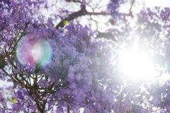 Jakarandaträd i blomning mot direkt solljus Arkivfoto