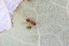 Merceryzować brown lasowe mrówki Fotografia Royalty Free