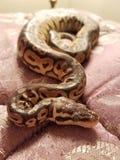 Jake la serpiente Foto de archivo libre de regalías