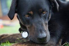 Jake le chien Image libre de droits