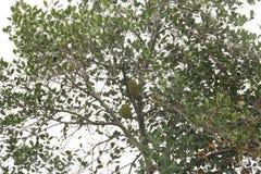 Jakfruit树 免版税库存图片